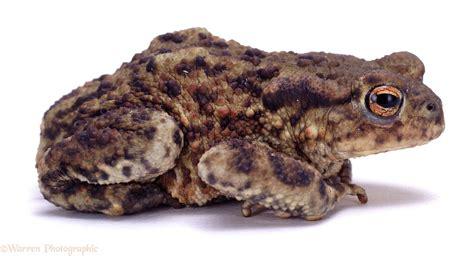 European Common Toad photo - WP02122