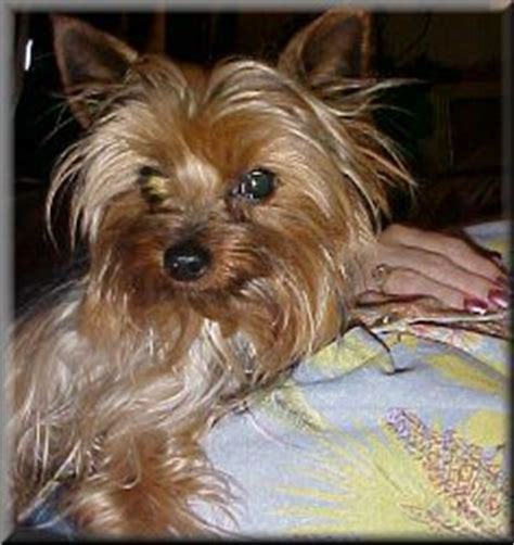 liver shunt in yorkies terrier rescue