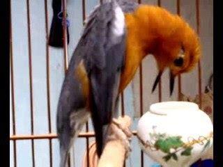 Mengatasi Masalah Penangkaran Kenari H972 burung anis cara mengatasi masalah pada anis merah