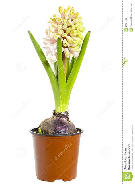 di fiore fotografo giacinto in vaso di fiore fotografia stock immagine di
