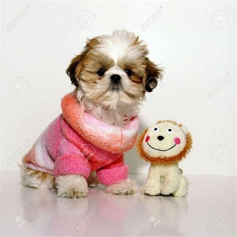 puppy dress up pomeranian puppies teacup puppies puppy