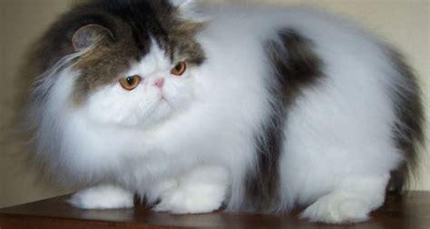 Sisir Logam Untuk Kucing merawat kucing kucinggaul