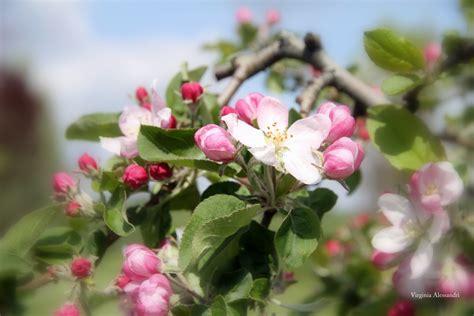 fiori di melo fiori di melo foto immagini piante fiori e funghi
