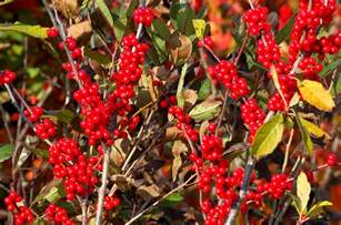 winterberry holly shrubs draw songbirds add color