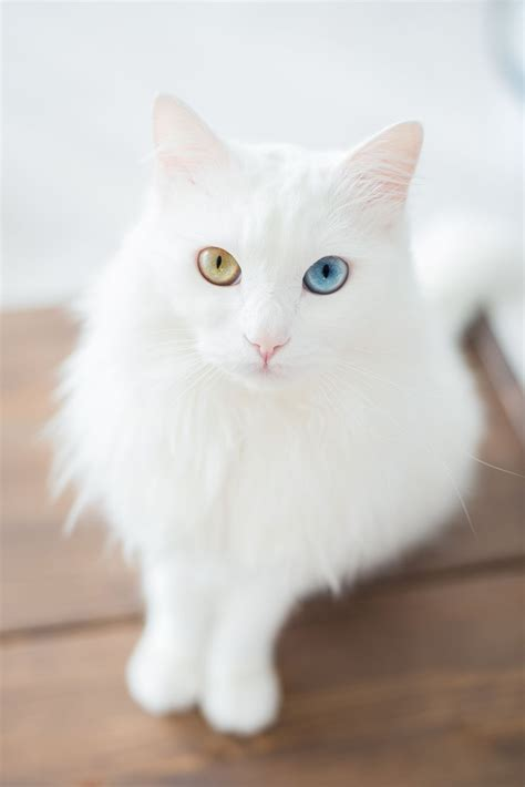 white cat with odd eyes the ethics of cuteness a closer look at 12 trendy cat