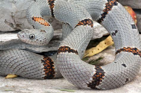 king snake colors gray banded kingsnake care sheet