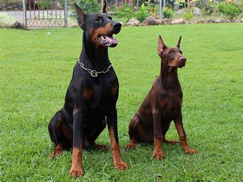 doberman colors doberman colors which color variants are there and why