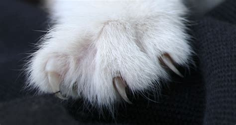 pros and cons of cats declawing cats pros and cons cat on the web