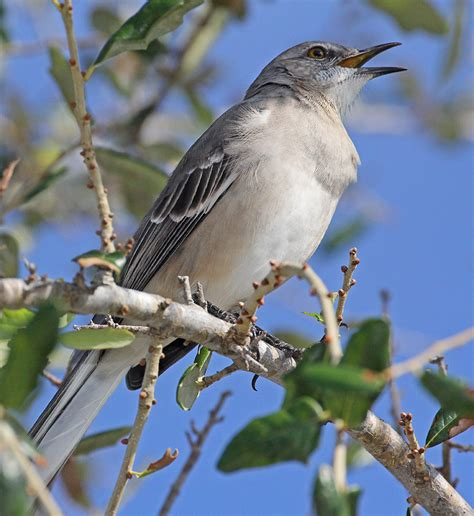 northern mockingbirds magical mimics and neighborhood