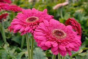 Gel D Eau Pour Plante #15: 06887002-photo-florist-patio-gerbera-bighorn.jpg