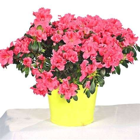 rododendro in vaso azalee in vaso piante da giardino azalee coltivate in vaso