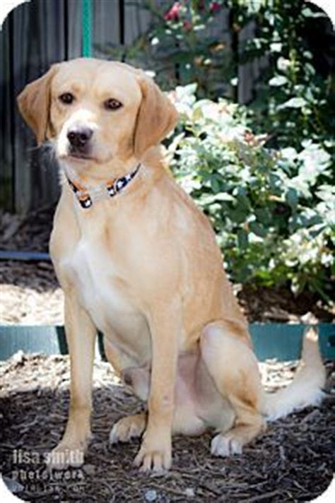 whitney minnesota video dog 17 best images about adoptable golden retrievers on