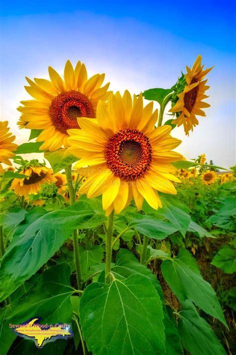 sunflowers  sewards wood  craftsmichigan photography