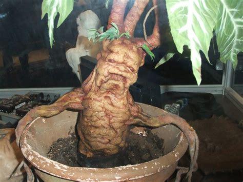 mandrake root mrweedwacker
