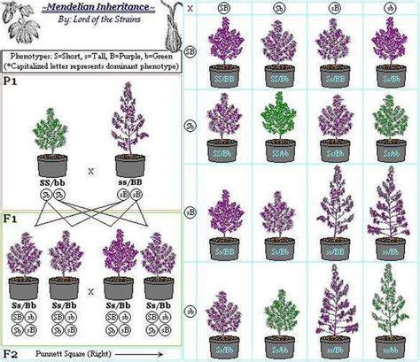 breeding cannabis    explained  seed bank