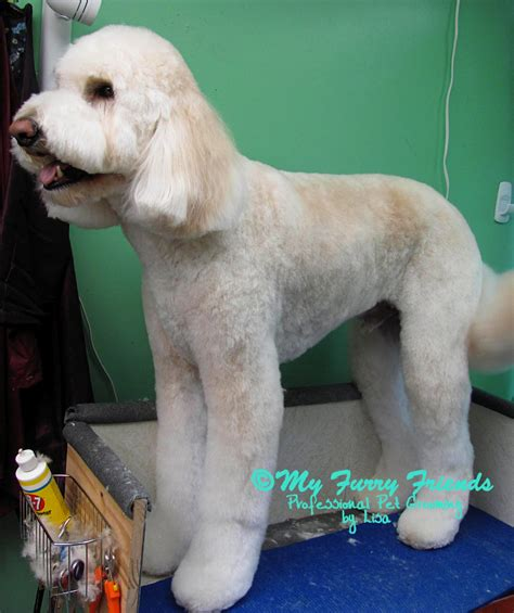 goldendoodle grooming puppy cut goldendoodle clip styles pics hairstylegalleries