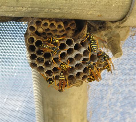 How To Make Paper Wasps - file paper wasps and nest jpg wikimedia commons