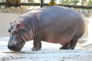 what color is a hippo file hippopotamus hibius homosassa springs wildlife