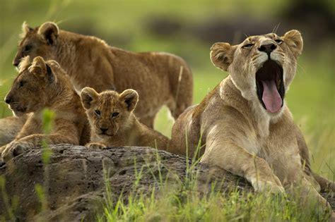 imagenes animales bostezando intenta ver estas fotos de animales sin bostezar