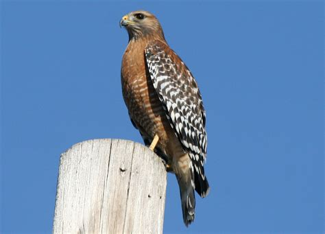 red shouldered hawk congaree sw south carolina love
