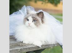 10 Amazing Pics Of Aurora The Fluffy Cat   Most Beautiful ... Fluffiest Kittens In The World