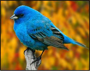 colored birds bird of the month indigo bunting the rock pile garden