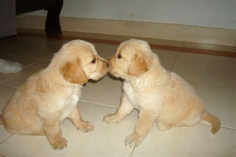 small golden retriever puppies miniature golden retriever 24 vital facts and images