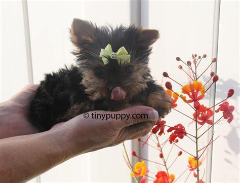 teacup yorkie boy tiny yorkie puppy nickey tinypuppy