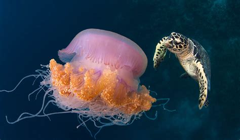 jellyfish  turtle desktop backgrounds hd wallpaperscom