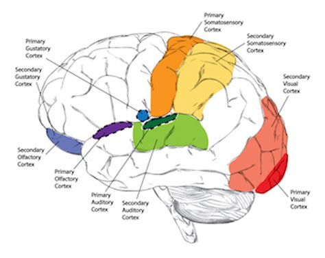 motor and sensory areas of the brain sensory cortex definition function lesson