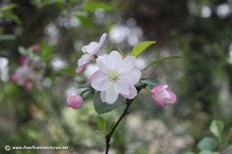 apple blossom apple blossom pictures apple flower pictures