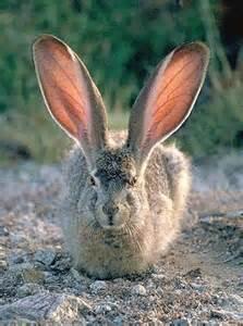 hd animals rabbit ears