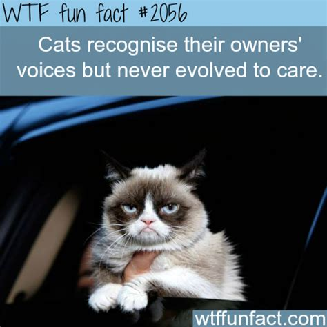 Cat Facts Meme - can cats recognize their owner s voice wtf fun