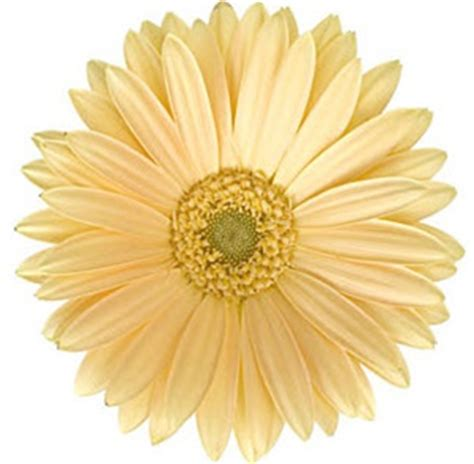 Fresh Cut Flower Preservative by Gerbera Daisy Cream Wedding Flowers