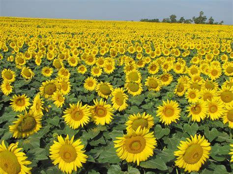 kansas sunflower warren s blog kansas sesquicentennial 1861 2011