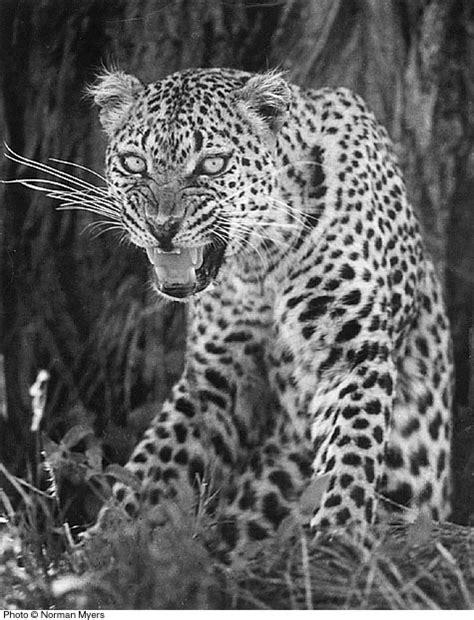 norman myers wildlife  leopard