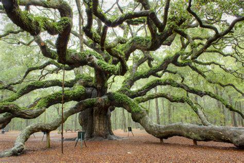 awe inspiring trees 6 angel oak charleston sc