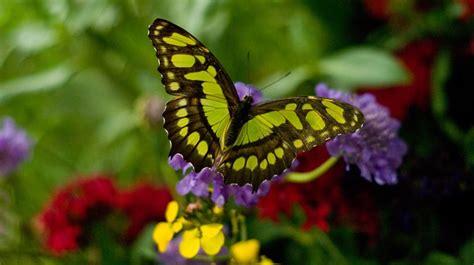 imagenes una mariposa colores de una mariposa im 225 genes y fotos