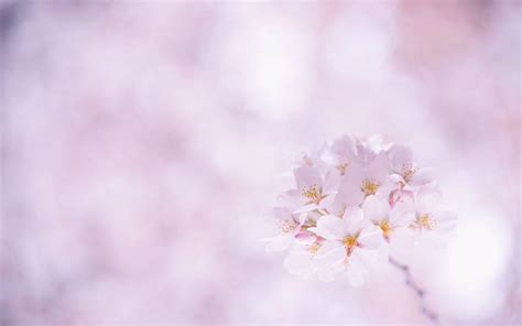 flower blossom wallpaper sakura flower wallpapers wallpaper cave