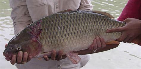bahan membuat umpan galatama ikan mas resep umpan mancing ikan mas di sungai populer resep