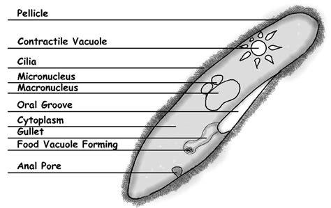 paramecium diagram paramecium labeled www pixshark images galleries