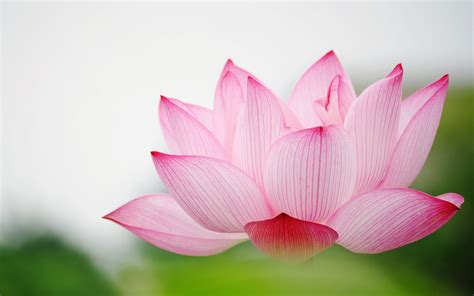 wallpaper lotus flower design lotus hd wallpaper 2015