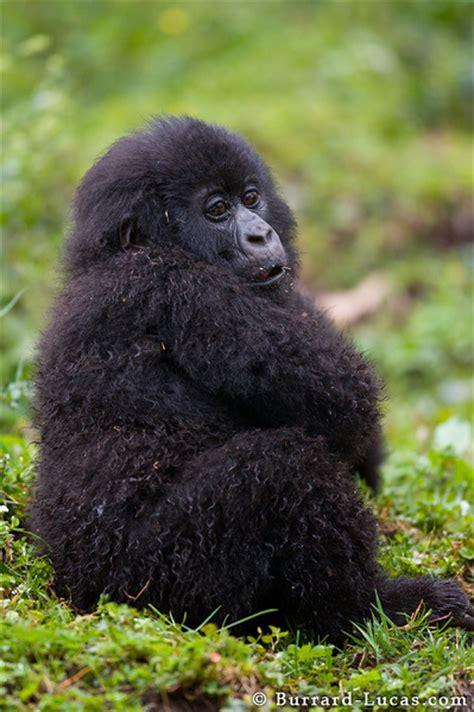 baby gorilla sitting burrard lucas photography
