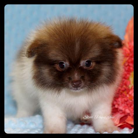 parti pomeranian price pomeranian m chocolate parti sold pups