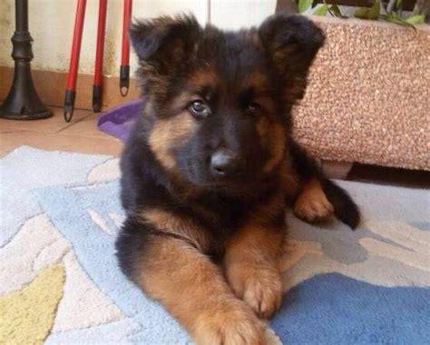 alimentazione pastore tedesco cucciolo cuccioli pastore tedesco pronta consegna a kijiji