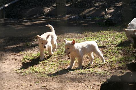 dingo puppies file dingo puppies jpg wikimedia commons