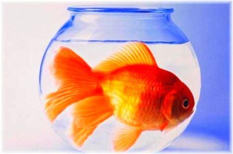 vasca pesce rosso la boccia per pesci una vera tortura