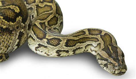 shih tzu breeders melbourne nine foot florida anaconda snake attacks bites at and two shih tzu dogs in