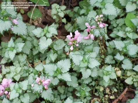 plantfiles pictures spotted dead nettle pink pewter