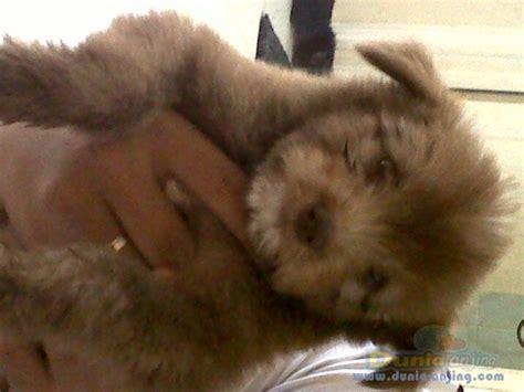 Jual Teflon Murah Surabaya dunia anjing jual anjing lainnya mix breed jual murah surabaya